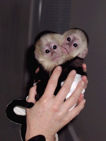 Capuchin monkees